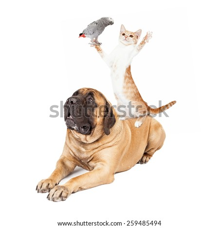 A playful cat standing on a large patient Mastiff dog while holding a bird  - stock photo