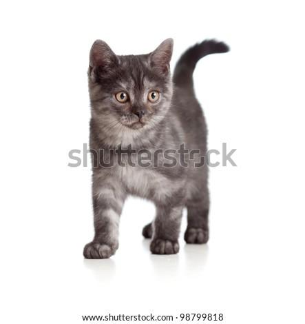 A playful kitten. British breed. Tabby. - stock photo