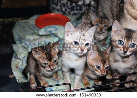 A playful litter of brown and silver tabby kittens aged about six weeks old are comfortable  with their mother in a nursing area. - stock photo