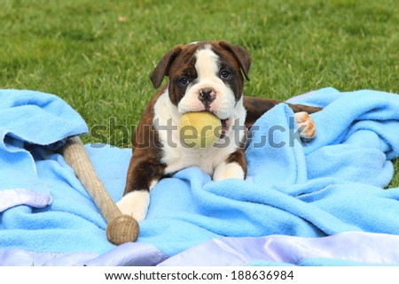A playful Olde English Bulldogge puppy lays on a blanket with a baseball bat and a tennis ball.