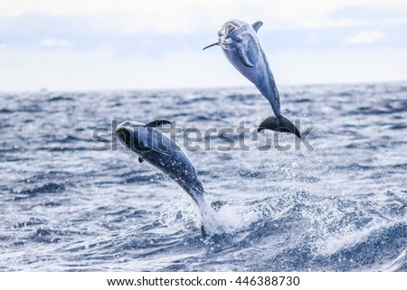 A Playful Pair Leaping Spotted Dolphins