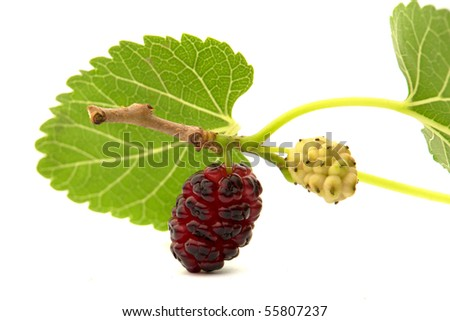 a plump blackberry with leaves...