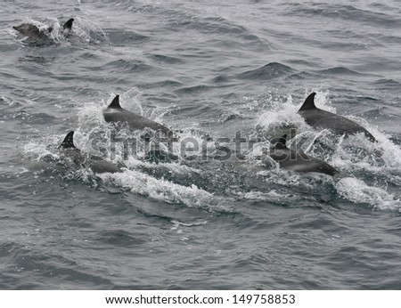 A pod of common dolphin swims in synch while sleeping as they travel