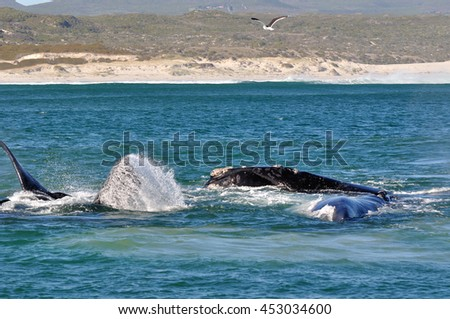 A pod of Southern Right whales in a mating group./ Excitement mating.