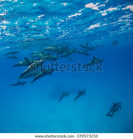 A pod of spinner dolphins {Stenella longirostris} in the Fury Shoals. Access to these areas is restricted, and the boat drivers are highly skilled in order to cause minimum disturbance to the dolphins