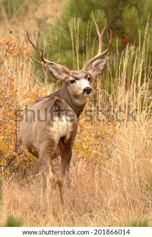 A 10-point Mule Deer  buck looking back from pine woodlands in Colorado during autumn.  - stock photo