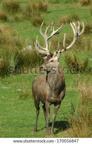 a 20 point red deer stag of 369 SCI, West Coast, South Island, New Zealand