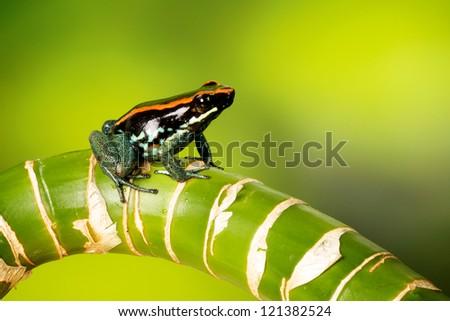A poison dart frog - stock photo
