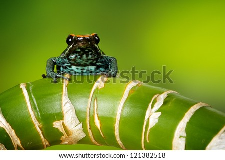 A poison dart frog looking at the camera - stock photo