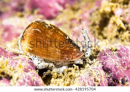 A poisonous California cone snail crawls across a reef looking for prey to paralyze and eat. - stock photo