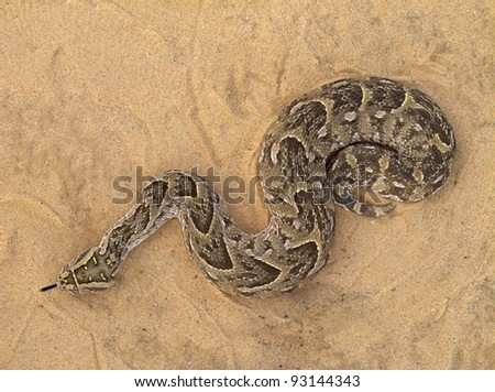 A poisonous puff adder (Bitis arietans) snake - stock photo