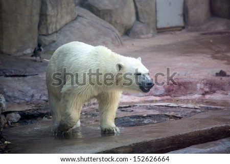 A polar bear at Moscow Zoo in Russia