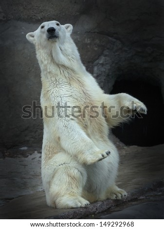 A polar bear female, sitting up straight with lifted forepaws. Wild beauty of the most dangerous and mighty beast of the world. Severe, but cute predator. - stock photo