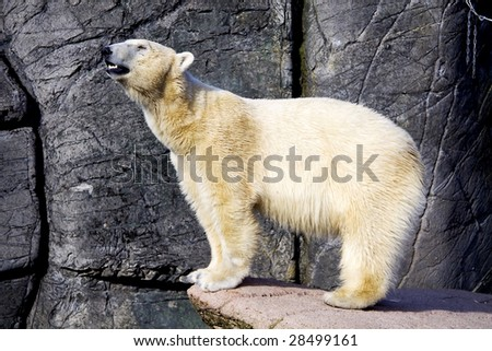 A polar bear is standing on the rocks - stock photo