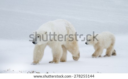 a polar bear mom and cub walking across the edge of the sea ice in Churchill, Canada - stock photo