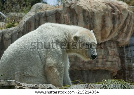 A polar bear sitting in an enclosure at a zoo on a sunny day.