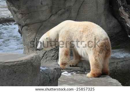 A polar bear walking on some rock formations at a zoo