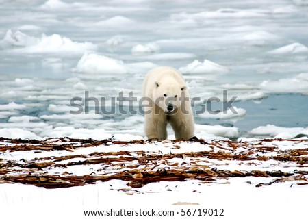 A polar bear with ice in the back ground - stock photo