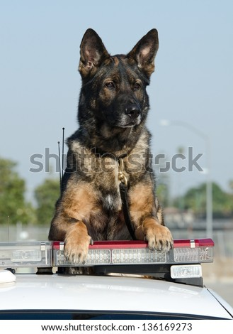 A police dog sitting on top of his patrol car during his shift.