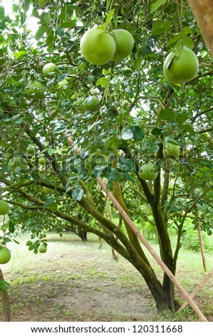 A Pomelo fruit in the tree. - stock photo