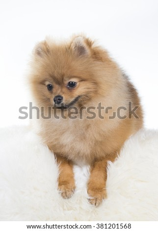 A pomeranian dog is lying on a sofa. The paws are pointing down. Image taken in a studio. - stock photo