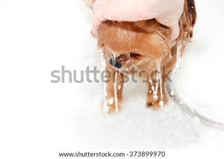 A pomeranian dog taking a shower with soap and water. Dog on white background. Dog in bath. Well groomed dog - stock photo