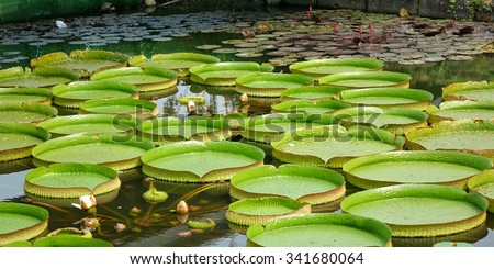 A pond with Victoria water platters (Victoria cruziana) and lily flowers