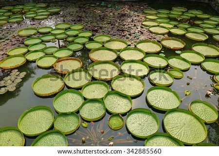 A pond with Victoria water platters (Victoria cruziana) and lily flowers - stock photo