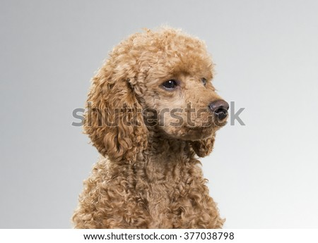 A poodle headshot. Image taken in a studio.