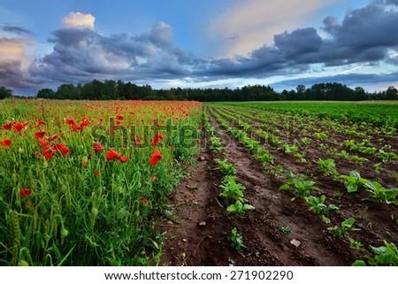 A poppy field and a beta field in Latvia - stock photo