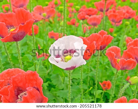 A poppy field in Lower Austria - stock photo