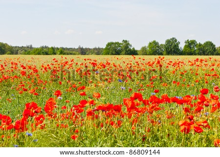 A poppy is any of a number of colorful flowers, typically with one per stem, belonging to the poppy family. - stock photo