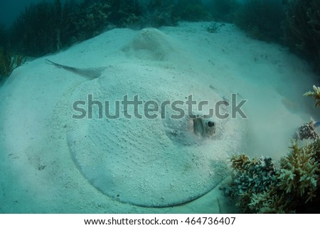 A Porcupine ray (Urogymnus asperrimus) lays on a sandy seafloor in Raja Ampat, Indonesia. This ray lacks a venomous stinging spine.