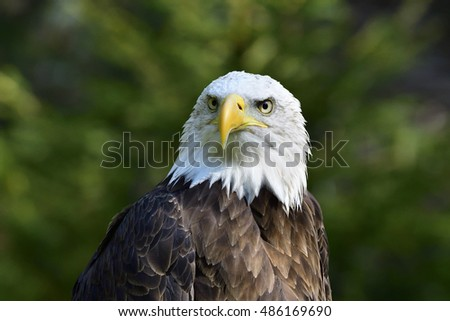 A portrait  from a Bald eagle