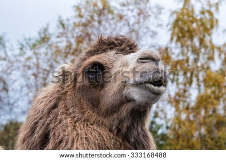 A portrait of a Arabian camel or Dromedary - stock photo