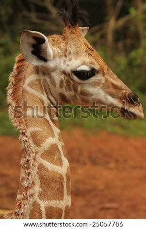 A portrait of a baby giraffe - stock photo