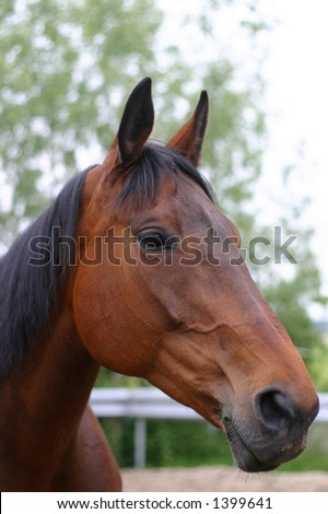 A portrait of a bay horse in the paddock