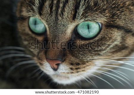 A portrait of a beautiful green eyed tabby cat.