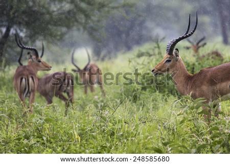 A portrait of a beautiful male impala ram.Tarangire National Park - Wildlife Reserve in Tanzania, Africa - stock photo