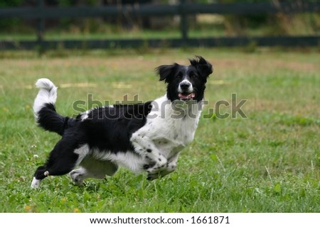 A portrait of a black and white dog in a garden, running for the ball, motion blur