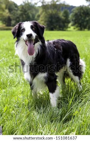 A portrait of a Border Collie in the green nature