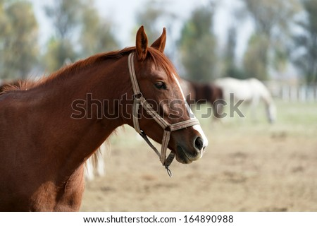 A portrait of a brown horse  - stock photo
