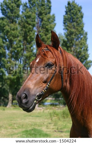 A portrait of a chestnut arabian horse