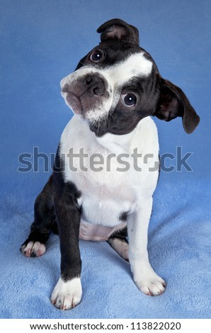 A portrait of a female Boston terrier puppy. - stock photo