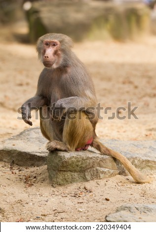 A portrait of a female hamadryas baboon