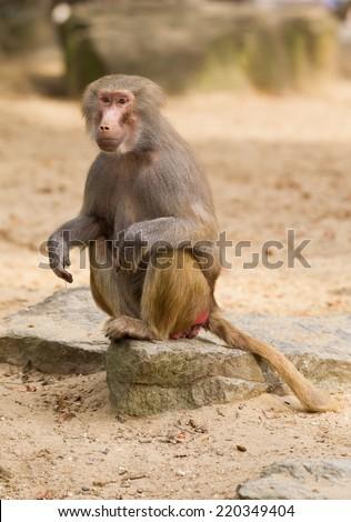 A portrait of a female hamadryas baboon - stock photo