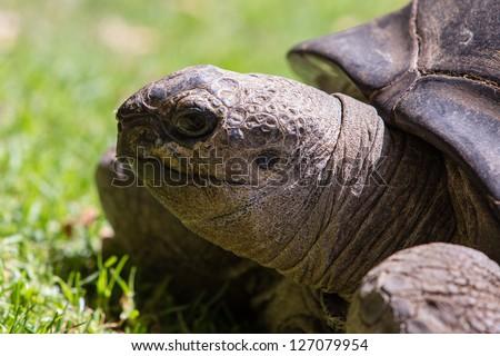 A portrait of a giant tortoise - stock photo