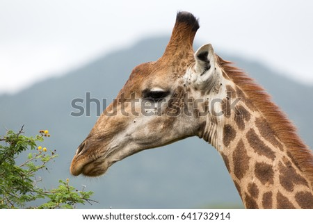 A portrait of a giraffe browsing acacia thorn trees