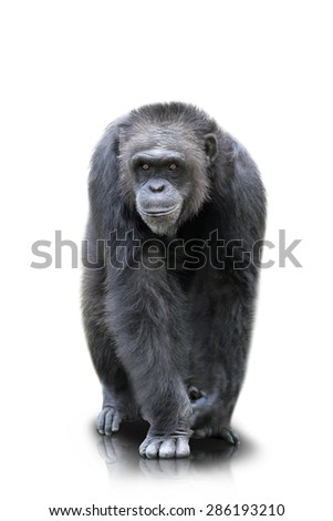A portrait of a gorilla which walks on both of his hand and feets, isolated - stock photo