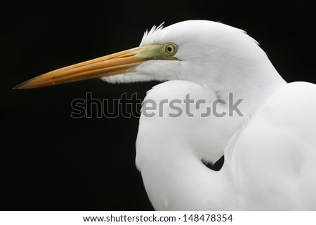 A portrait of a great egret with a black background.  Sarasota, FL, USA.